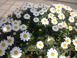 130313「プランターの花」.JPG
